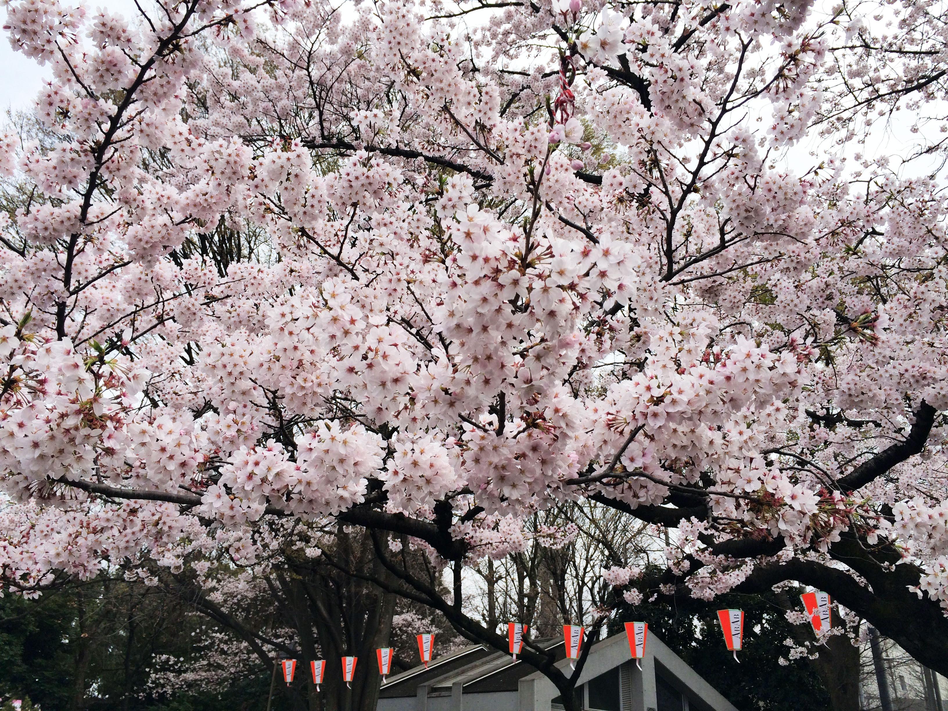 上野_桜_お花見