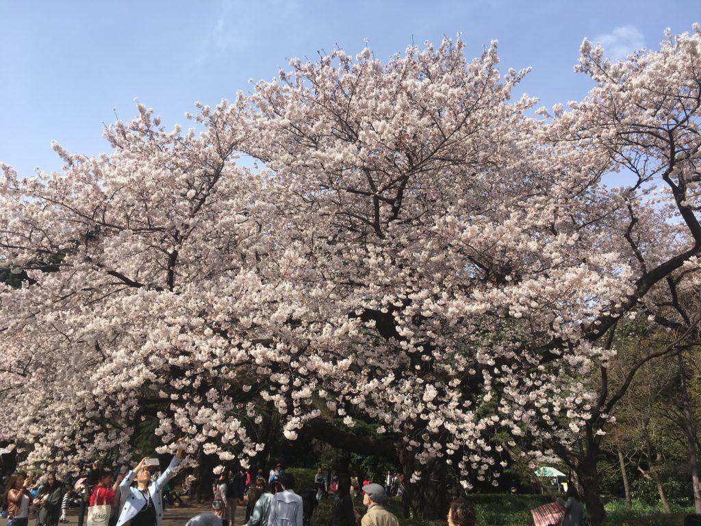 新宿御苑_桜・花見